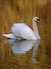 Elégance naturelle ***--  °°-° (Titole) Tags: reflection golden swan reflet cygne unanimouswinner friendlychallenges thechallengefactory gamesweepwinner storybookttwwinner titole nicolefaton