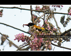 , black headed oriole (Shoummo ()) Tags:  bangladeshibirds     blackhaededoriole deshibirds