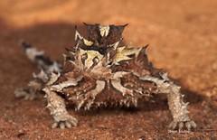 Thorny Devil (Moloch horridus) (Gus McNab) Tags: devil thorny horridus moloch