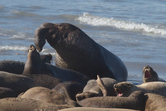 Elephant Seals Photo