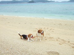 Sophie and Kaiser (Kaiser the Beagle) Tags: dog beach beagle finepix fujifilm okinawa akajima fujifilmfinepixf11