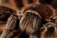 Tarantula close up (Captured by Candice St. Jean) Tags: animal canon 50mm spider tarantula 18 t3i extensiontubes 600d