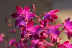 13.2.12 (ACK1974) Tags: flowers orchid purple dendrobiumphalaenopsis