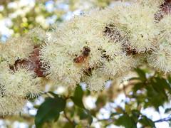 jabuticabeira em flor (Eric Henrique - Piraju SP) Tags: tree flor bee abelha honey brazilian grape apis jabuticabeira mellifera