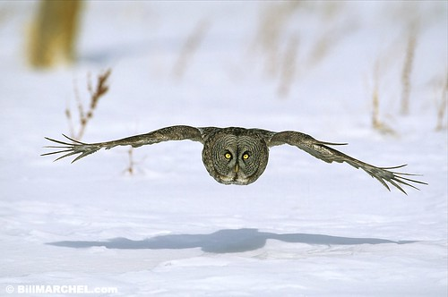 Great Gray Owl by Bill Marchel
