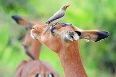 Oxpecker over a female impala (cadviodi) Tags: africa park red southafrica bush south antelope savannah hip impala imfolozi antilope savanna sabana sudafrica oxpecker hluhluwe billed redbilled sudáfrica erythrorhynchus aepycerosmelampus redbilledoxpecker aepyceros melampus buphaguserythrorhynchus hluhluweimfolozi buphagus antílope hluhluweimfolozipark picabuey femaleimpala bufágido