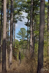 hNatLob120208_001web (PhotosByGil) Tags: trees tree pine forest pines forests loblollypines mygearandme naturalloblollypines