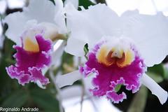 Orquídea (Andrade fotografias) Tags: flôres