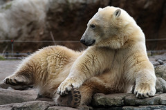 IJsbeer Vicks Blijdorp IMG_0555 (j.a.kok) Tags: beer bear ijsbeer polarbear arctic pool noordpool blijdorp vicks mammal zoogdier predator