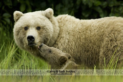 """Focused,"" Grizzly Bear Sow and Cub, by Jerry & Barb Jividen (Jerry & Barb Jividen) Tags: bear nature animal animals alaska photography photo nikon photos wildlife file stockphotos grizzly focused nationalgeographic stockphoto bearcub stockphotography brownbears artprints northamericanwildlife specanimal lakeclarknationalpark coastalbrownbear alaskabear onlythebestofnature alaskancoastalbrownbear jerryjividen barbjividen brownbearinsedgemeadow jividengrizzlybear0100"