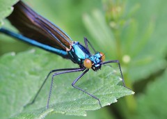 Who you calling beautiful? (out in the sticks) Tags: blue orange male insect devon damselfly invertebrate arthropod odonata calopterygidae beautifuldemoiselle calopteryxvirgo canonef100mmf28macrousm canoneos50d specinsect macrolife