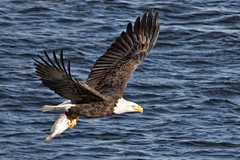 Bald Eagle with Fish (w4nd3rl0st (InspiredinDesMoines)) Tags: fish detail nature water canon landscape flying amazing fishing close eagle screensaver fierce outdoor flight baldeagle iowa talon 7d mississippiriver capture graceful 2012 spectacle catchingfish leclaire 1585 baldeaglefishing baldeagleflying lockanddam14 ld14