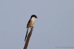 Long-Tailed Shrike IV (rracine1) Tags: nature birds canon thailand asia wildlife places chachoengsao schach lanius laniusschach