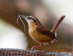 Carolina Wren With Nesting Material (Marcus Sharpe) Tags: park winter nature birds garden nest marcus florida wildlife birding 9 carolina april material wren mead 2012 nesting sharpe