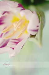 Deep springs of life (dhmig) Tags: flowers italy stilllife milan flower detail macro nature closeup creativity petals nikon dof purple bokeh details softness naturallight tulip freshness 50mmf28 softcolors fragility nikond7000 dhmig dhmigphotography