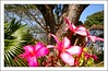 My wonderful flowers (Ginas Pics) Tags: pink flowers vacation india nature smart goa explore tropicalparadise ginaspics samrt explored holidaysvacanzeurlaub bestofgoa reginasiebrecht copyright©2015reginasiebrecht