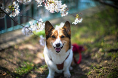 Under the Cherry Blossoms (moaan) Tags: leica dog smile digital happy 50mm corgi dof bokeh walk f10 utata cherryblossom sakura noctilux welshcorgi stroll cherrytree 2012 m9 pochiko leicanoctilux50mmf10 leicam9