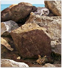Sardinian cats (Viola & Cats =^..^= (+OFF-ON )) Tags: sardegna sea cats animal rock mare sardinia rocce gatti animali alghero straycats gattirandagi catnipaddicts