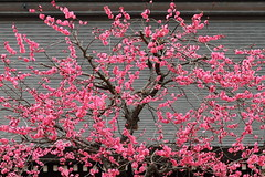 Spring has come  --Ume plum blossoms-- (Teruhide Tomori) Tags: flower japan kyoto blossom plum   ume   kitanotenmangu