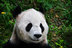 The giant Panda in Beijing zoo, China (fabriziogiordano23) Tags: china bear white black animal zoo asia panda noir beijing giantpanda 1001nights bianco nero soe gigante cina orso autofocus pechino flickraward flickrestrellas ringexcellence allnaturesparadise flickrstruereflection1 rememberthatmomentlevel1 flickrsfinestimages1 flickrsfinestimages2 magicmomentsinyourlifelevel1 rememberthatmomentlevel2 rememberthatmomentlevel3