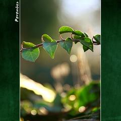 Hedera helix (Transmontano) Tags: luz sol portugal photoshop hedera hera bragança braganca xoox transmontano ilustrarportugal parambos portugalmagico addcda