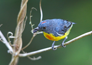 Yellow-rumped Flowerpecker - endemic