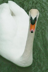Face de Cygne (steph77700) Tags: white green nature wet face animal seine canal swan eau et 77 cygne ourcq marne seineetmarne villenoy me2youphotographylevel1