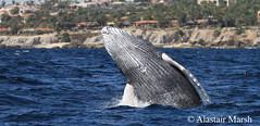 Humpback Whale Breach (Alastair Marsh Photography) Tags: ocean sea beach animal mexico mammal wave bajacalifornia whale baja humpbackwhale marinemammal bajapeninsula