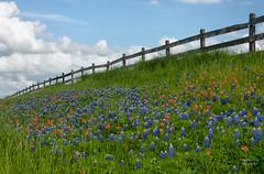 Wildflower Heaven (Amy Hudechek Photography) Tags: texas getty wildflowers bluebonnets gettyimages washingtononthebrazos texaswildflower indianpainbrush happyphotographer amyhudechek