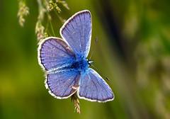 Plebejus argus (Celestinoocosta) Tags: azul cu borboleta plebejusargus bougado celestinoocosta tordozonal carpiediem mygearandmeplatinum tplringexcellence