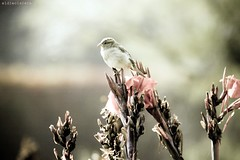The little sparrow - El pequeo gorrin (eldiecisiete) Tags: pink