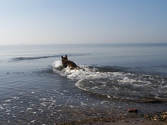 2012 - 27.3.12 Prestwick (92) (marie137) Tags: houses sea people dog sun game beach water coffee animals shop landscape fun scotland sand ben shepherd pebbles german splash gsd marie137