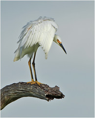 Snowy Pose ( Explored Mar.31st. #154 ) Thank you all. (billkominsky ) Tags: green nature birds bravo snowy wildlife wetlands damn cay egret egrets supershot spectacularanimals howardsgallery