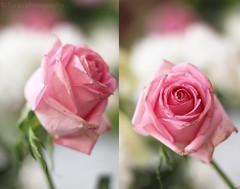 Copyright © Esraa photography | 2012 (Esraa alkhuzaim | إسراء الخزيم) Tags: rose وردة ورود زهرة ورد وردي زهر زهور جوري زهري الجوري جورية