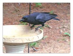 Size comparison Crow & Sparrow (DonaSite) Tags: ohio birds backyard birdbath sparrow crow throughmywindow