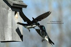 Tree Swallows (Tachycineta bicolor) (Sharon's Bird Photos) Tags: nature birds spring backyard wildlife birding northdakota 2012 bif tachycinetabicolor treeswallows exploredapril25