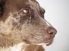 Cookie (Nathan Greninger) Tags: dog labrador cookie mansbestfriend browneyes gooddog brownandwhite brownandwhitedog countrydog faithfuldog montroseco lovableanimal