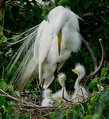 Great White Egret and Brood (fademphotos) Tags: andromeda thegalaxy abigfave andromeda50 mygearandme mygearandmepremium mygearandmebronze dblringexcellence highqualityanimals me2youphotographylevel2 me2youphotographylevel3 freedomtosoarlevel2birdphotosonly freedomtosoarlevel3birdphotosonly freedomtosoarlevel4birdphotosonly freedomtosoarlevel5birdphotosonly me2youphotographylevel4 freedomtosoarlevel5birdsonly freedomtosoarlevel4birdsonly
