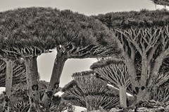 Dragon's Blood Trees, Socotra Island (Rod Waddington) Tags: trees blackandwhite tree landscape island mono blood ancient dragons yemen endangered endemic dracaena yemeni socotra cinnabari