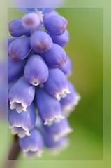 Perlhyazinthe (nirak68) Tags: deutschland spring blossom blau lübeck blüte frühling muscari perlhyazinthe spargelgewächs