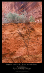 Exposed root  system in desert wash, Buckskin Gulch, Utah. (enlightphoto) Tags: arizona plants plant nature ecology outside outdoors utah flora desert natural grow roots dry ground sage erosion growth soil dirt vegetation layer environment growing root sideview climate exposed cutaway eroded pariacanyon buckskingultch vermillioncliffsnationalmonument rootstructure