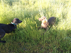 """Benelli & Juno playtime • <a style=""""font-size:0.8em;"""" href=""""http://www.flickr.com/photos/66999112@N00/13907318285/"""" target=""""_blank"""">View on Flickr</a>"""
