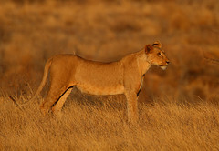 Game on? (Rainbirder) Tags: kenya samburu africanlion pantheraleo rainbirder