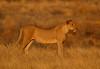 Game on? (Rainbirder) Tags: kenya samburu africanlion pantheraleo rainbirder