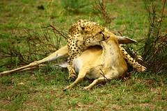 cheetah kill Masai mara Kenya (shameek.bhargava) Tags: wild nature kill wildlife mara cheetah masai hunt masaimara animalkingdomelite cheetahkill flickrbigcats