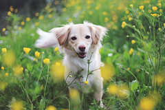 Deisy (Je) Tags: flowers dog cane puppy 50mm lights yellowflower f18 deisy dogpuppy flowersfield