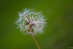 Make a wish (On Instagram @Rachel_Joanne) Tags: green nature nikon fuzzy exploring dandelion explore makeawish fuzzywuzzy d5200 nikond5200 racheljoanne findingbeautyinimperfectplants imperfectplant