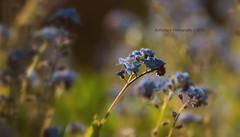 ...wie gemalt (explore Nr. 400+irgendwas) (rafischatz... www.rafischatz-photography.de) Tags: garden pentax forgetmenot k3 tamron70300 gardenflower