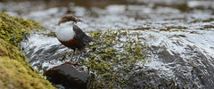Dipper (nick edge) Tags: bird nature water wales river nikon stream wildlife breconbeacons dipper naturephotography signsofspring brecons springwatch cincluscinclus britishbirds wildlifephotography ukwildlife nikon300mmf4afs ukbirds nikond7100 nickedge