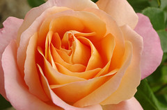 Thse-la-Romaine (Loir-et-Cher) (sybarite48) Tags: france flower fleur rose flor rosa  gl blume fiore  bloem iek loiretcher   kwiat   ra     thselaromaine